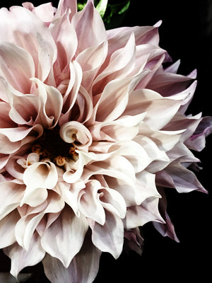 Dahlia 11 Photographic print by California based photographer Christina Fluegge Hahnemuhle Photo rag paper limeted edition greige design shop + interiors