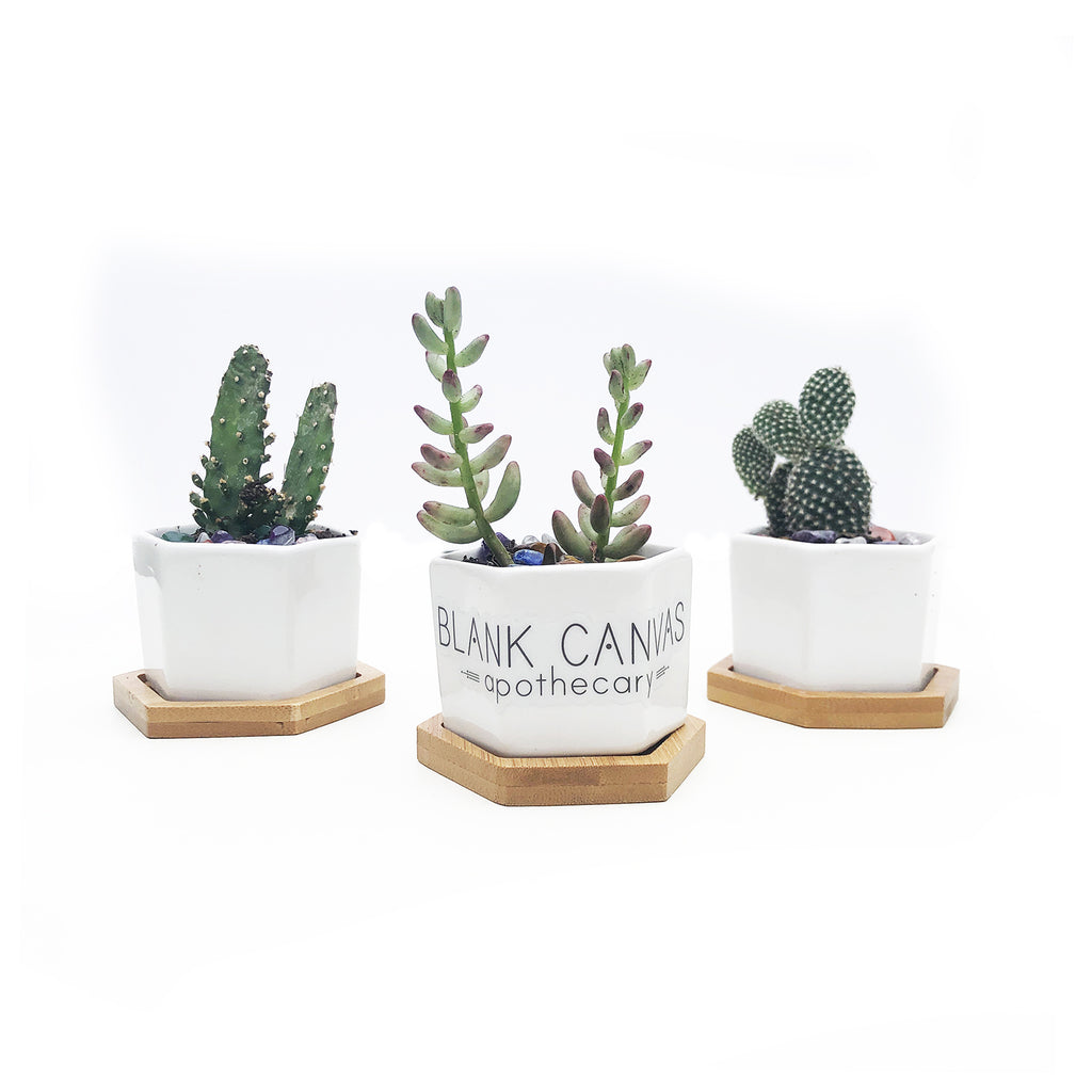 Blank Canvas Succulents