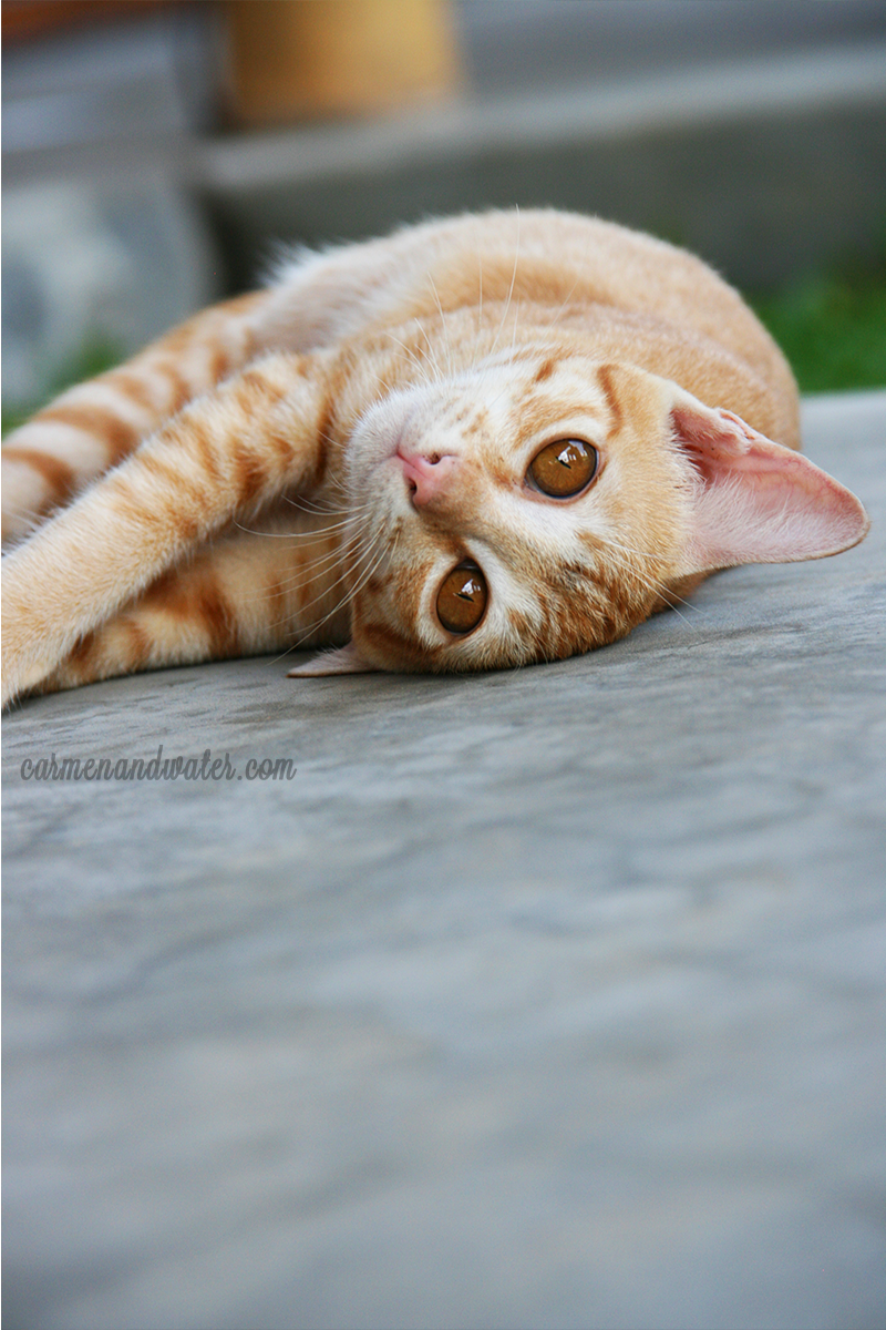 Resident pet cat rolling on the floor for a camera pose.