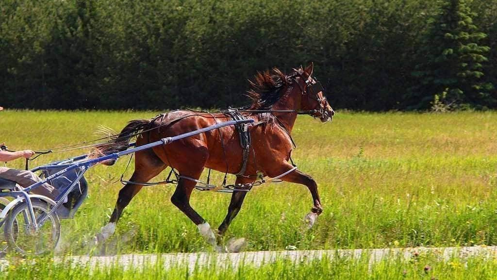 FAQ: Can the Q be used on a gaited horse?