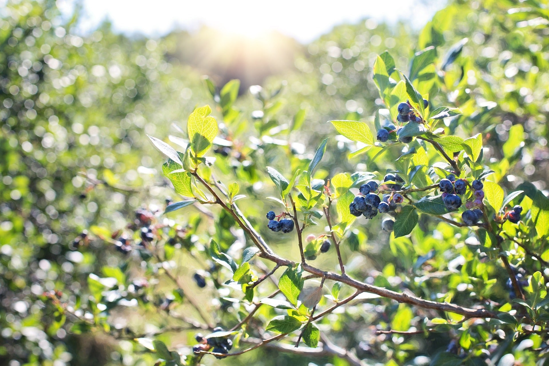 Blueberries ripe in the field at The Blueberry Barn