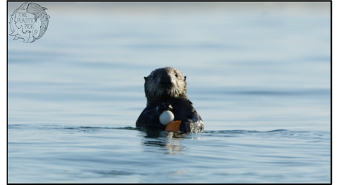 Otter with Golf Ball off Pebble Beach
