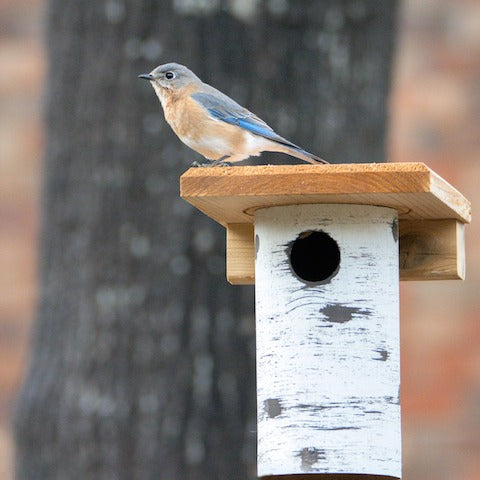 New Bluebird House- Try a Gilbertson