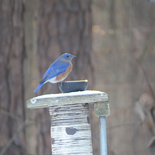 Dried or Live Meal Worms for Bluebirds?