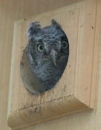 Owl Houses and Owl Boxes