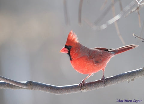 Winter-Cardinal-Great-Backyard-Bird-Count