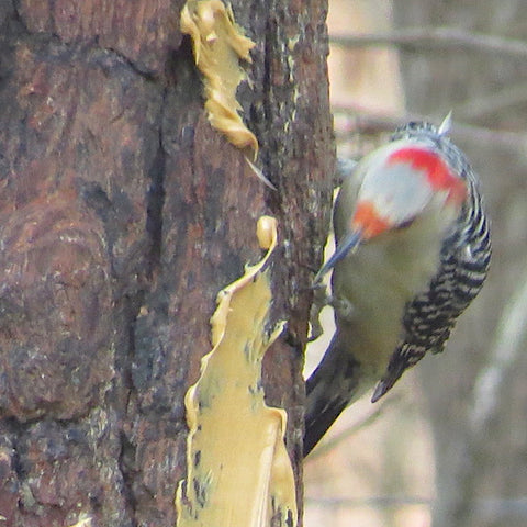 Red Bellied Woodpecker eating peanut butter from tree