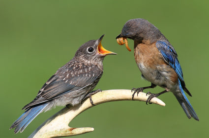 Bluebird-dad-feeding-mealworms-to-fledgeling