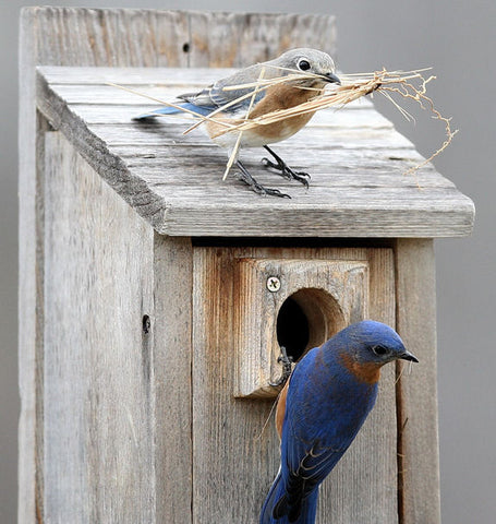 Bluebird pair chooses a birdhouse