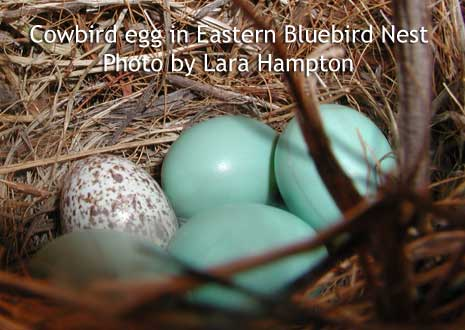 Cowbird egg in bluebird nest