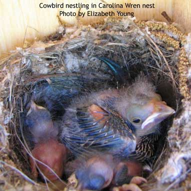 Cowbird in Carolina Wren's nest