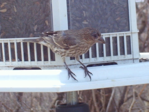 Sick House Finch