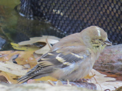 Infected Goldfinch-Respirtory Disease