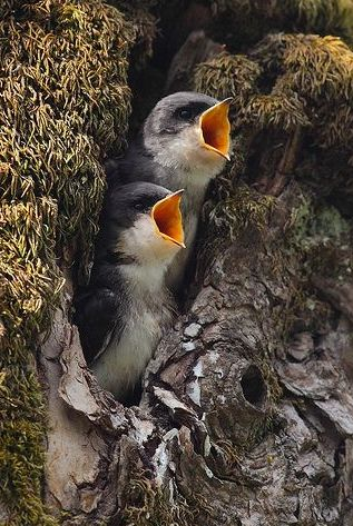 Tree Swallows in Natural Nest Cavity