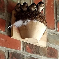 Barn Swallows In Nest Cup
