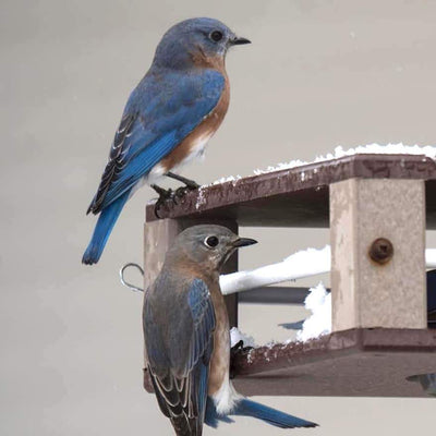 Bluebirds at Gilbertson Feeder for Mealworms