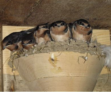 Barn Swallow Nest Cups-Set/2