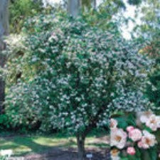 Malus ioensis plena - JULY DELIVERY