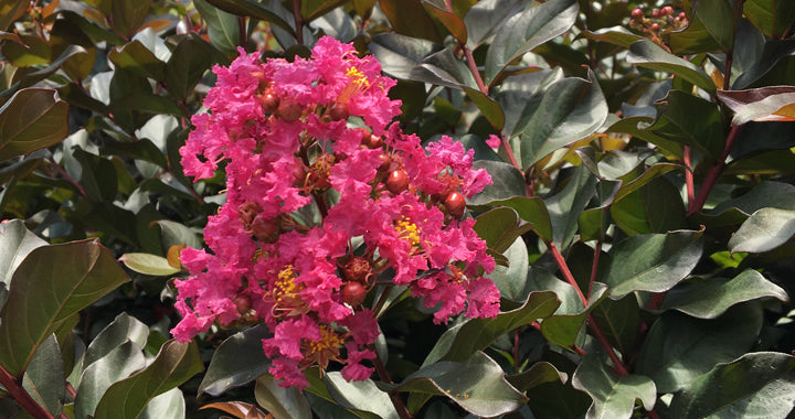 Lagerstroemia (crepe mrytle) 'Plum Magic' - WINTER DELIVERY