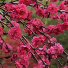 Prunus Crimson Cascade Weeping- WINTER DELIVERY