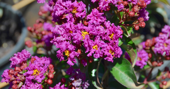 Lagerstroemia (crepe mrytle) 'Purple Magic' - WINTER DELIVERY