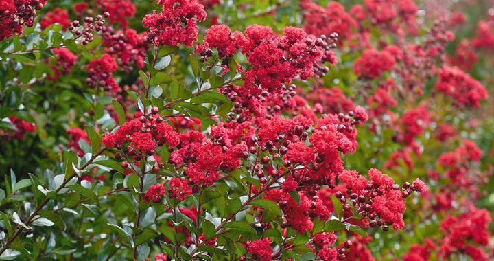 Lagerstroemia (crepe mrytle) 'Ruffled Red Magic' - WINTER DELIVERY