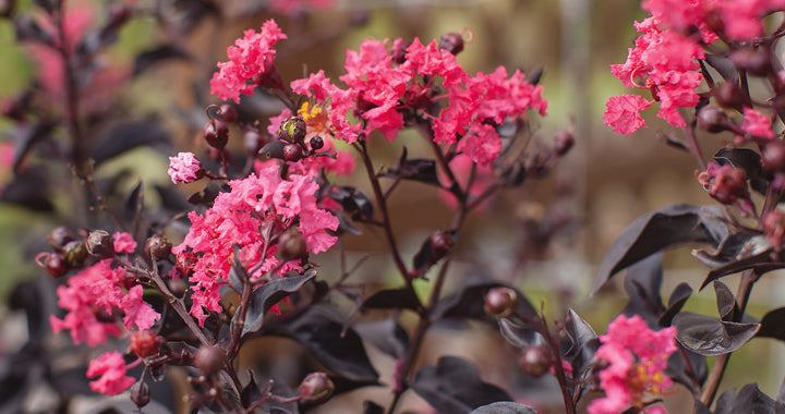 Lagerstroemia (crepe mrytle) 'Twilight Magic' - WINTER DELIVERY