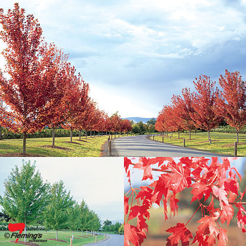 Acer x freemanii Jeffersred Autumn Blaze WINTER DELIVERY