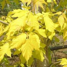 Acer negundo Kelly's Gold - WINTER DELIVERY