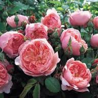 Rose 90cm Standard The Alnwick Rose WINTER DELIVERY
