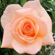 Rose F Apricot Nectar WINTER DELIVERY