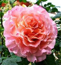Rose HT Augusta Luise - WINTER DELIVERY