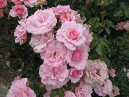 Rose F Bonica WINTER DELIVERY