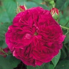 Rose Old Fashioned Charles De Mills WINTER DELIVERY