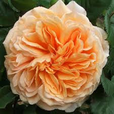 Rose D.A. Crown Princess Margareta - WINTER DELIVERY 2017