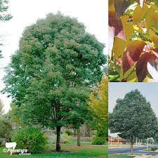 Fraxinus pennsylvanica - Urbdell - JULY DELIVERY