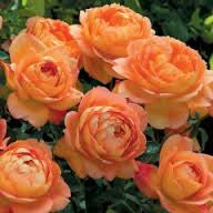 Rose DA Lady of Shalott WINTER DELIVERRY