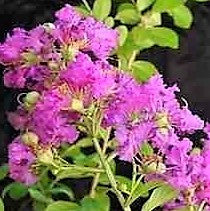 Lagerstroemia (crepe mrytle) Zuni - JULY DELIVERY