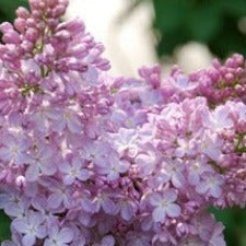 Lilac Belle de Nancy - JULY DELIVERY