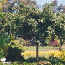 Malus Wandin Pride (fruiting) weeping TALL STANDARD - WINTER DELIVERY