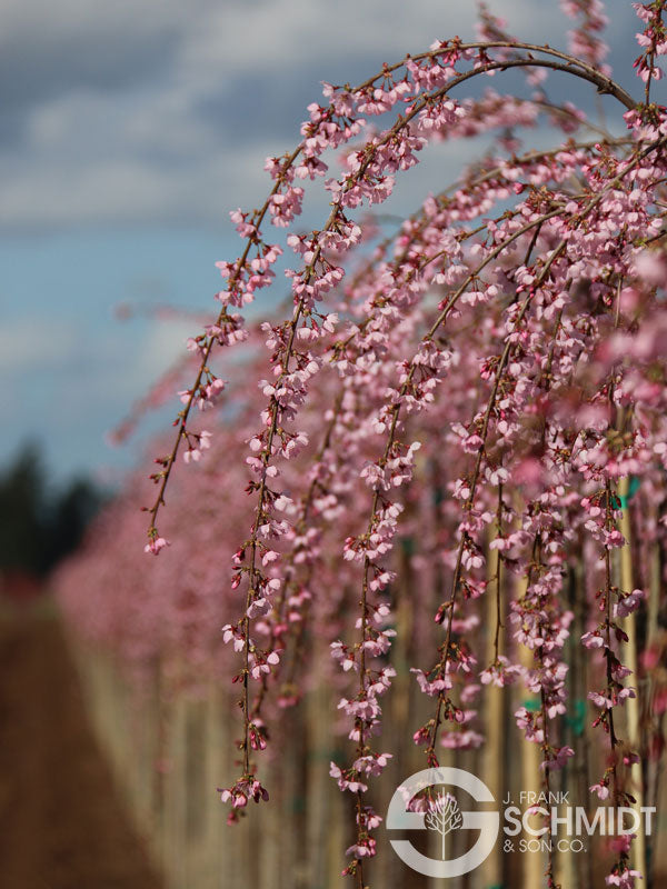 Prunus yedoensis x incisa Pink Cascade - tall standard WINTER DELIVERY