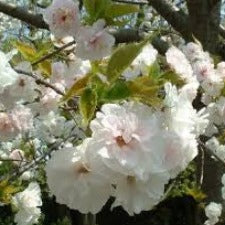 Prunus Mt Fuji (Shirotae) - ornamental cherry - JULY DELIVERY