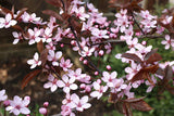 Prunus nigra Standard Tall- Ornamental plum 1.8m - JULY DELIVERY