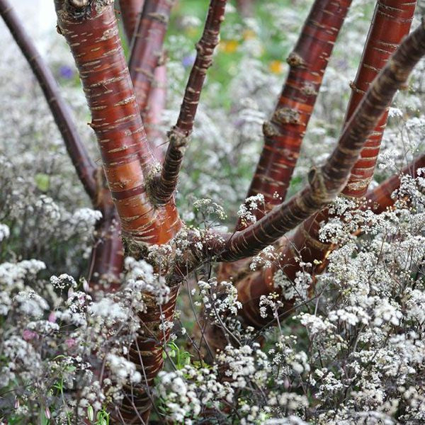 Prunus serrula tibetica - flowering cherry