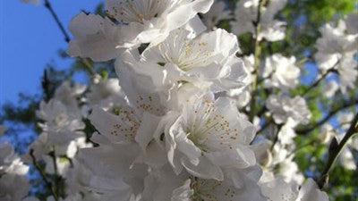 Prunus White Weeping - ornamental peach 1.8m