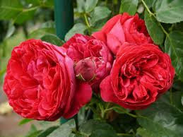 Rose 90cm Standard Red Pierre de Ronsard WINTER DELIVERY
