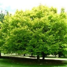 Ulmus glabra - Lutescens (Golden Elm) - JULY DELIVERY