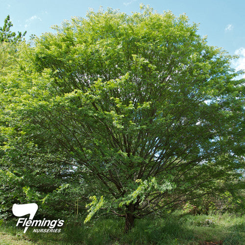 Ulmus parvifolia ' Reflection' - JULY DELIVERY