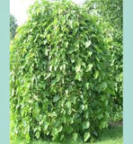 Weeping Mulberry- Morus Alba Pendula - 1.2m tall - JULY DELIVERY