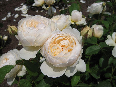Rose 90cm Standard D.A. Windermere - WINTER DELIVERY